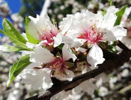 Cherry Blossom: Come riconoscerli?
